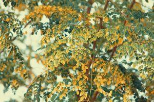 למה משמשים צמחי מורינגה?